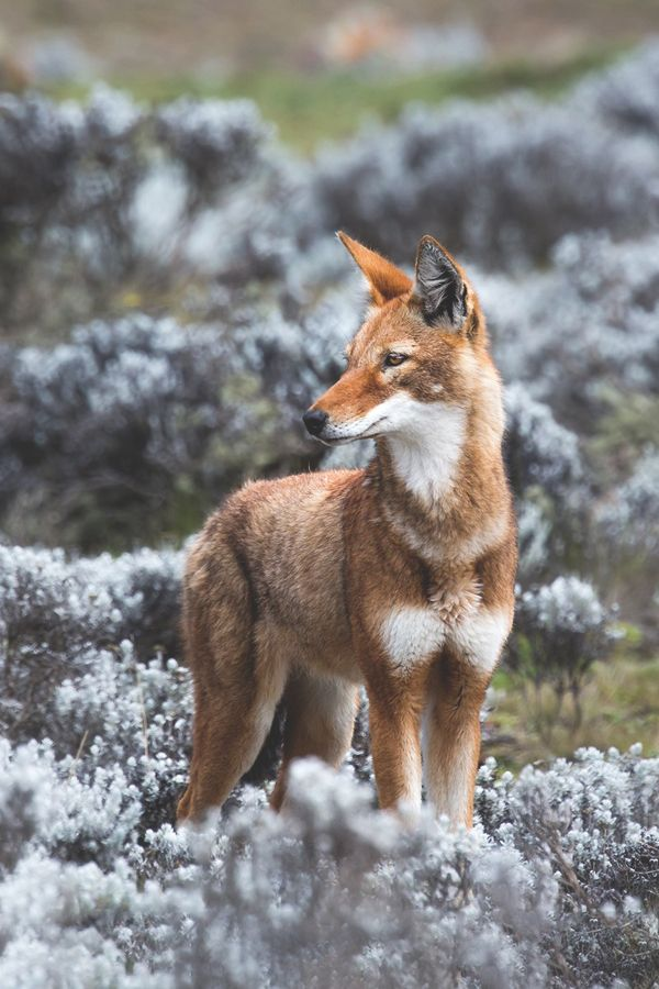 Rare Ethiopian Wolf | Golden Dream - by: Keith Connelly Photographics @chaneyjewell