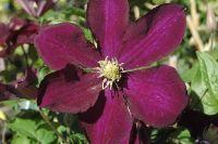 Цветки этого вида раскрытые, одиночные, могут составлять в диаметре до пятнадцати сантиметров, а цвет их может быть от светлых до ярких и «густых» тонов