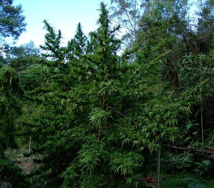 En este post nos centraremos en explicar como podar nuestras plantas de marihuana teniendo en cuenta los diferentes métodos de control de la altura así como mejorar la producción de las plantas con una mínima manipulación mediante cortes y ataduras. A parte podemos ver otras maneras de incrementar la producción de cogollos como la poda RIB o la técnica del Super Scroping.