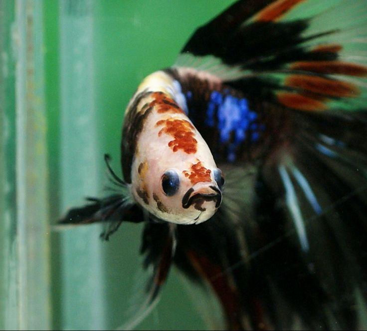 17 best images about betta splendens on pinterest for Best betta fish