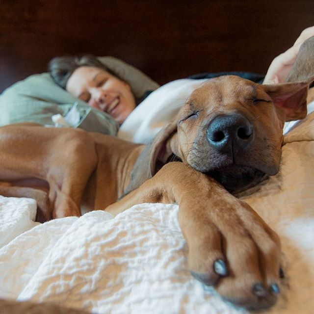 """""""No dogs on the bed"""" is the rule around here, but the exception to the rule is when one of us or one of the dogs is sick. Laughter is the best medicine, but a warm puppy isn't far behind.  ____________________________ #rhodesianridgeback #projectrr #ridgebacksofinstagram #dog #dogs #hound #dogsofinstagram #dogoftheday #excellent_dogs #petstagram #primepet #chicago #pets #petsofinstagram #pets_perfection #puppy #ilovemydog"""