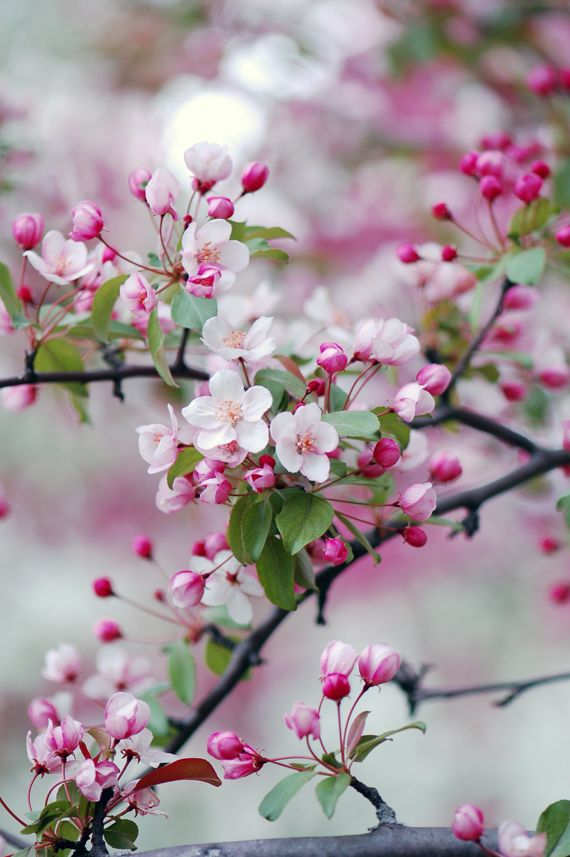 Spring Pictures in Japan - Crabapple Blossoms in Spring -so beautiful especially if there is a whole orchard in bloom