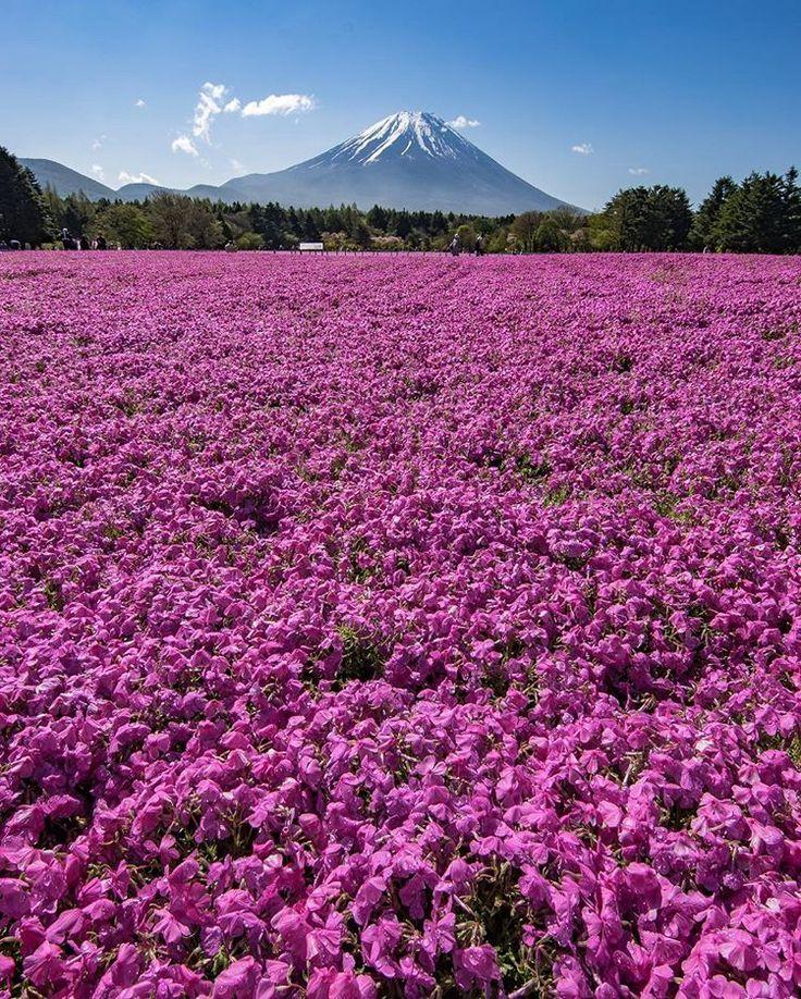 Fuji Shibazakua Festival, Yamanashi, Kawaguchiko, Moss phlox, Shibazakura, spring, 富士芝桜まつり, 山梨, 河口湖