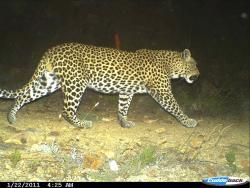 Cape Leopard photographed at night on Lourensford Estate