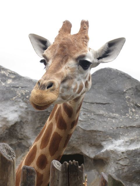 giraffe taronga zoo australia