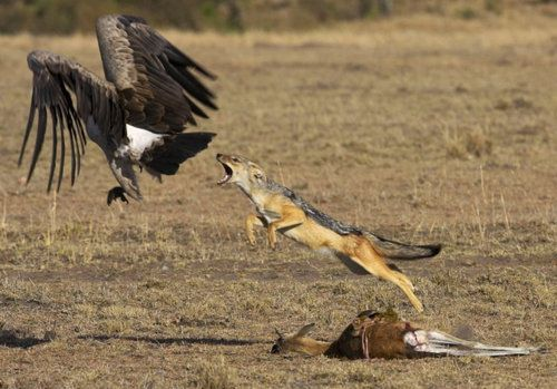 BLACK-BACKED JACKAL jumping at a retreating Griffon Vulture from apraksina on Live Journal