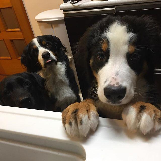 進撃のポムさん!! * うまうまのときに現れます * 後ろのにぃちゃんやねぇちゃんみたいに待てるようになろうね〜〜 * * 今日から卒業旅行でディズニーに行ってきます٩(ˊᗜˋ*)و * 2泊3日、お利口さんにしててね〜✨ * すぐに会いたくなりそうです * しばらくは過去picにお付き合いください * #dog#dogsofinstagram#dogs#instadog #doglover#dogoftheday #dogsofig#ilovemydog#doglovers #dogofinstagram#愛犬#家族#犬#犬ばか部#親バカ#犬なしでは生きていけません会#多頭飼い #ラブラドール#ラブラドールレトリバー#黒ラブ#labrador#黒ラ部#大型犬のいる生活#大型犬 #バーニーズ#バーニーズマウンテンドック #Bernese#4ヶ月#puppy