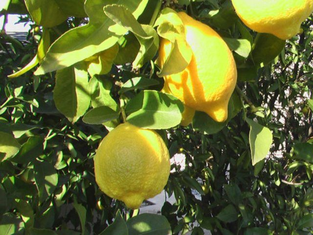 How To Care For A Lemon Tree Hunker Growing Lemon Trees Lemon Tree From Seed Meyer Lemon Tree