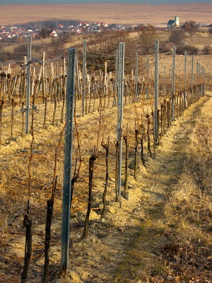Leithaberg, the beautiful rolling hills that are the last vestiges of the alps before they flatten into the Pannonian plain and skip across the border to Hungary.  On these limestone and schist riddled hills, Blaufränkisch, Austria's greatest red grape variety, works its magic.