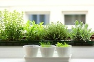 7 Tips For Growing A Windowsill Garden Growing Herbs 400 x 300