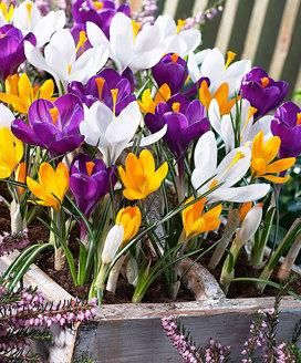#Crochi a grandi fiori  ad Euro 18.95 in #Bakker #Piante e fiori bulbi da fiore