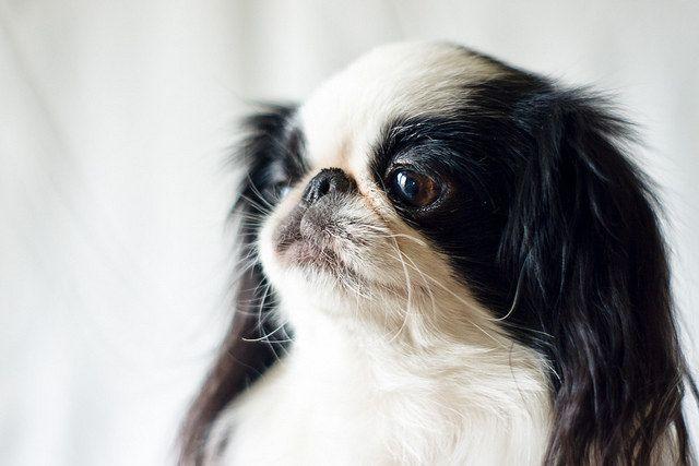 The Definitive Ranking Of Dog Breeds Dog Breeds Japanese Chin Dog Toy Dog Breeds
