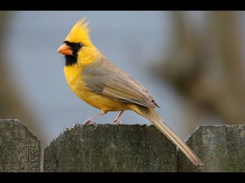 'One in a million' yellow cardinal spotted in Alabama | AL.com