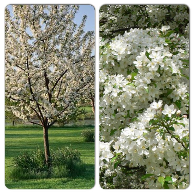 Small Ornamental Trees Nc: White Angel Crabapple (8m High & Wide) A Beautiful