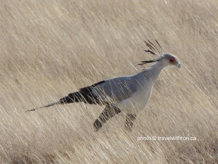 The Secretary Bird is a very large bird of prey.  Endemic to Africa, it is usually found in the open grasslands and savannah.  They are easily recognizable by their black stockings and their pencils in their hair just like the old fashioned secretaries.   This photos was taken in Buffalo Springs Game Reserve, Kenya  travelwithron.ca