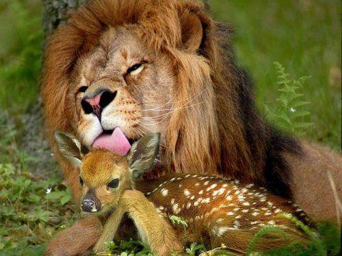 Aprés le lion et l'agneau, le lion et le faon!
