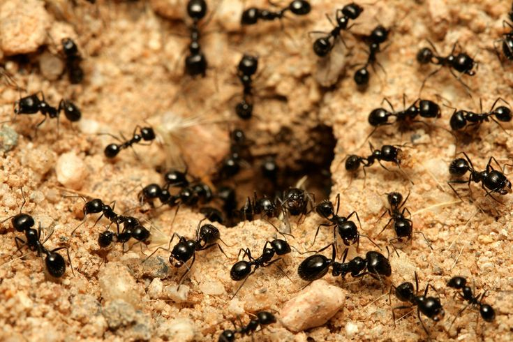 In Australia some 3000 species of ant are known. They are one of the most successful groups of insect with nests that may contain tens of thousands of individuals. Ants make a nuisance of themselves by infesting kitchens and BBQ areas, short-circuit air conditioners, lights and power points and inhabit cavity walls resulting in unsightly waste and excavation mounds around skirting and architraves.