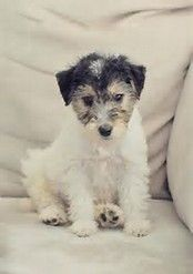 Image result for fox wire Terrier black puppy