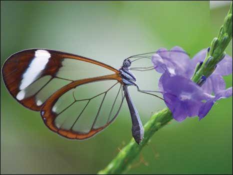 O inseto com as asas mais transparentes: As borboletas com asas de vidro são encontradas em todo o mundo, mas nas florestas tropicais, suas asas fazem com que elas pareçam invisíveis quando estão pousadas em folhas ou flores