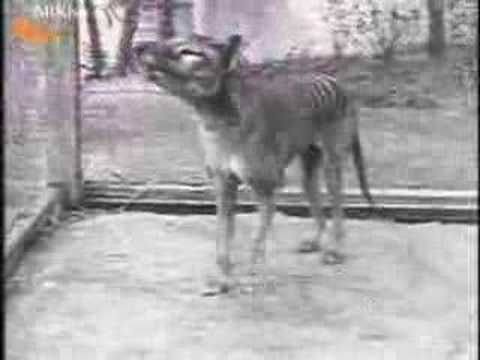 The last thylacine, aka Tasmanian Tiger, filmed in 1933. It died 3 years later. Originally from http://www.arkive.org/thylacine/thylacinus-cynocephalus/