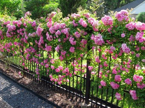 Rosen – einmalige Schönheit mit betörendem Duft verzaubert die Sinne