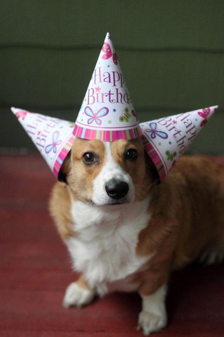 The Daily Corgi: Happy Birthday to Me!