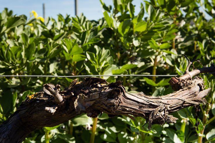 I nuovi tralci delle #viti crescono in sintonia con le #fave che #nutrono #naturalmente il #terreno di azoto.