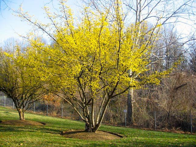 cornus mas - Dirndlstrauch für Wildbienen, Hummels etc Frühling im Herbst Früchte für Vögel, Marmeladen