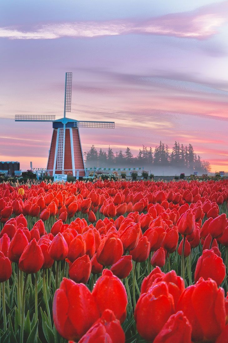 Essential Tips For Visiting The Wooden Shoe Tulip Festival In Oregon Tulip Festival Tulips Flowers Photography