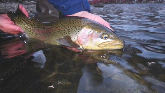 Awesome winter rainbow trout.