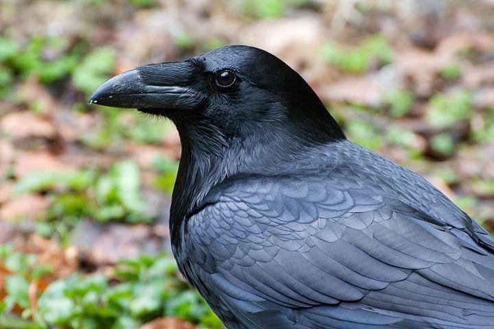 corvo imperiale - Cerca con Google