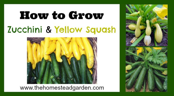 Learn how to grow an abundant harvest of Zucchini and Yellow Squash. These plants will delight you in the garden as well as in the kitchen. Nothing beats fresh garden summer squash!
