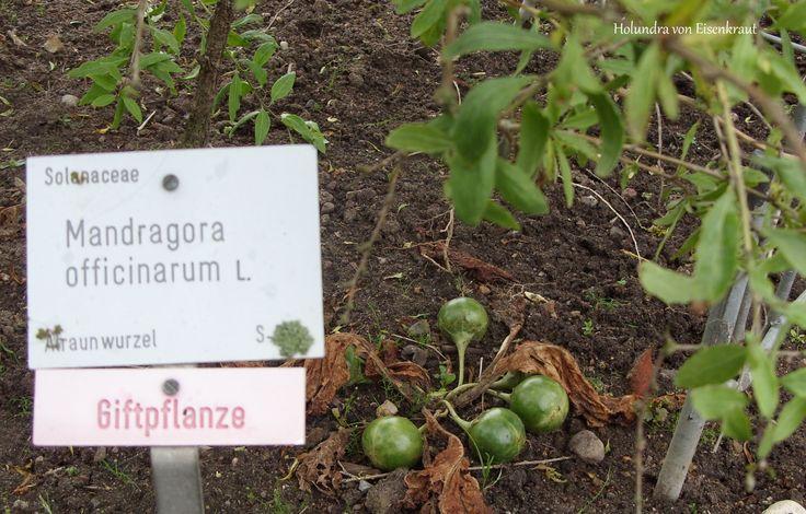 Alraune / Mandragora im Botanischen Garten der CAU Kiel