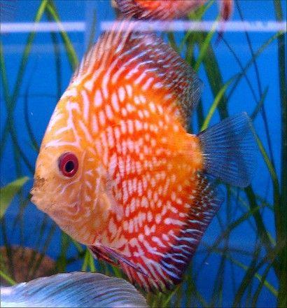 Tropische vissen zoals de Discusvis ofwel de Symphysodon aequifasciatus hebben een unieke vorm en prachtige kleuren.