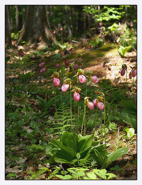 Maine lady slippers.  We had them in MA too.