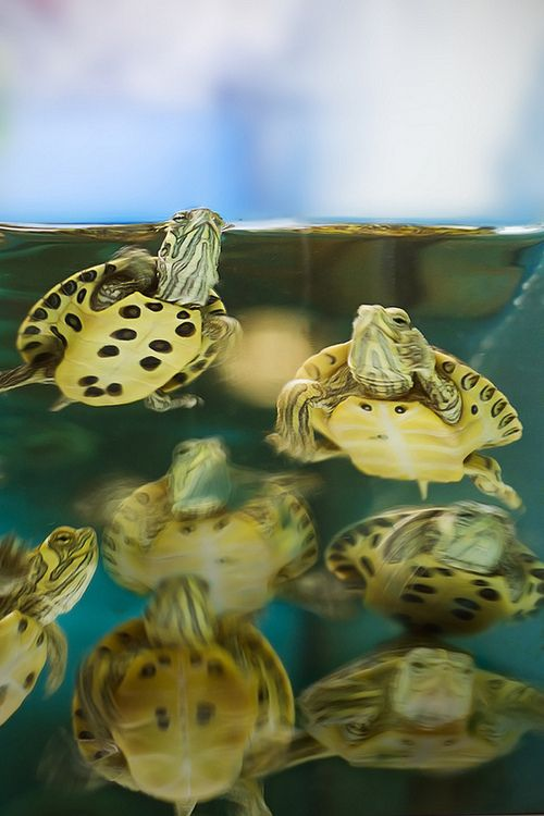 Baby Turtles are so Adorably Cute!!!!