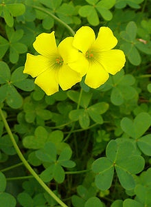 Oxalis pes-caprae (Bermuda buttercup, African wood-sorrel, Bermuda sorrel, Buttercup oxalis, Cape sorrel, English weed, Goat's-foot, Sourgrass, Soursob and Soursop; (Afrikaans: Suring) [1]) is a species of tristylous flowering plant in the wood sorrel family