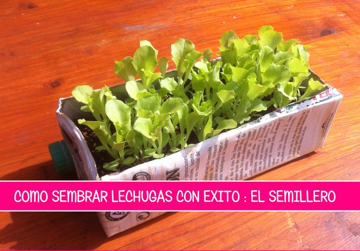 Como Sembrar Lechuga : El Semillero , una de las partes mas importantes para tener éxito en su cultivo es hacer un buen semillero y luego plantar la lechuga  http://www.lahuertinadetoni.es/como-sembrar-lechuga-el-semillero/