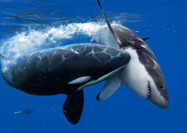 Que Comen Las Orcas