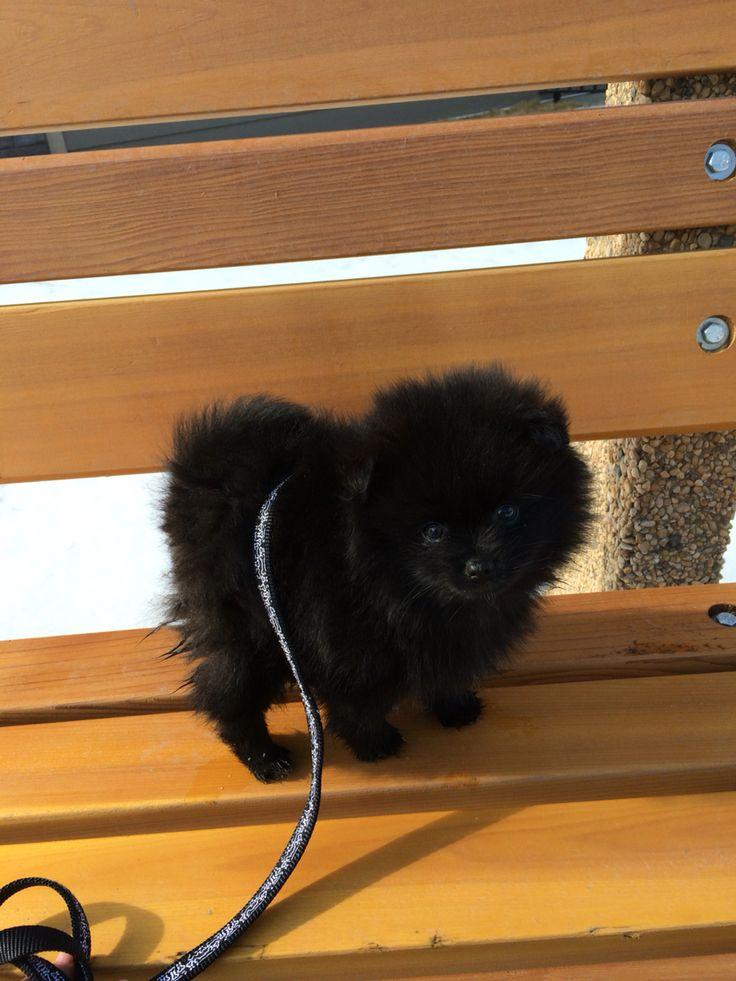 Black Pomeranian puppy Zeus