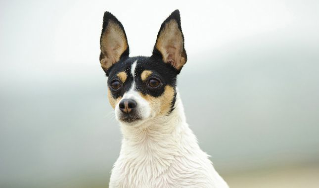 Everything you want to know about Toy Fox Terriers, including grooming, training, health problems, history, adoption, finding a good breeder, and more.