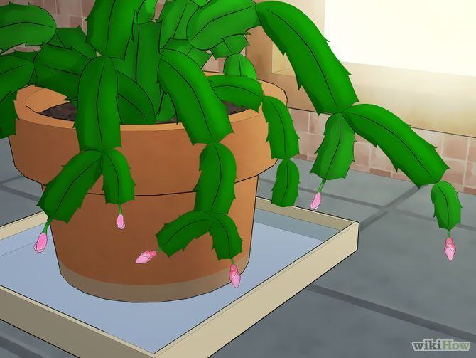 Step by Step Tutorial: How to Care for a Christmas Cactus