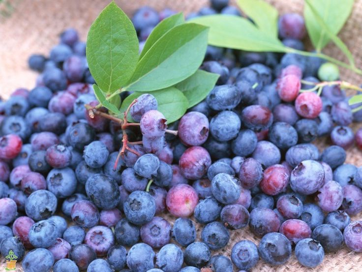 Climax Blueberry Bush for Sale