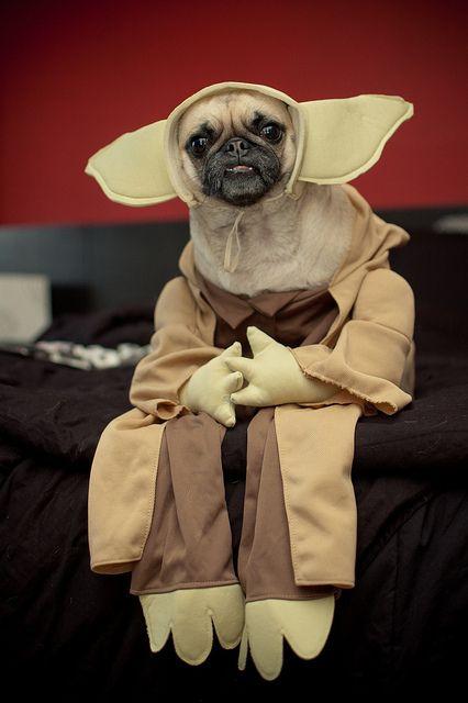 Pug Yoda.   26 Disfraces que prueban que los Pugs siempre ganan en Halloween