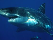 Great white shark - Wikipedia  off Guadalupe Island, Mexico Sharkdiver.com - Own work