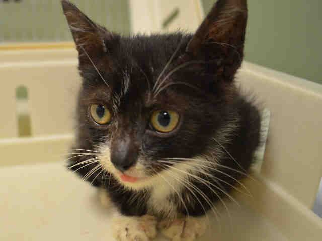 """NOZOMI  - A1087261 - - Manhattan   ***TO BE DESTROYED 08/31/16*** SECOND CHANCE!! MAKE IT COUNT!!…NOZOMI IS 4 WEEKS OLD AND IS """"SUSPECTED"""" OF RINGWORM – SO FOR THAT – THE ANIMAL """"CARE-LESS"""" CENTER WILL KILL HIM! Yes you heard that right. NOZOMI is only 4 weeks old and they suspect ringworm – a common fungal rash that is easily treated with anti-fungal cream and meds. And this case isn't even confirmed- but suspect enough"""