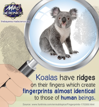 Detective Science  : Koalas have ridges on their fingers which create fingerprints almost identical to those of human beings.  Mad Science of the Bay Area