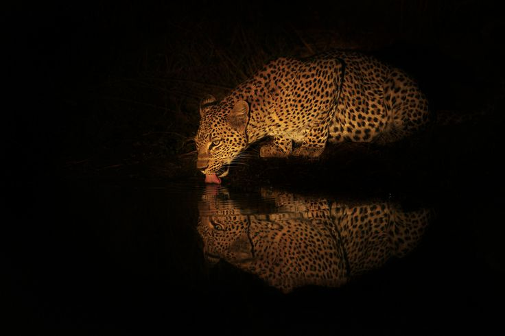 "500px / Photo ""Lady Leopard Lapping"" by Rudi Hulshof"