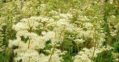 Echtes Mädesüß - duftendes Aroma und natürliches Heilmittel