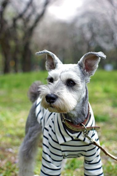 schnauzer haircut styles best 25 schnauzer grooming ideas on 2501